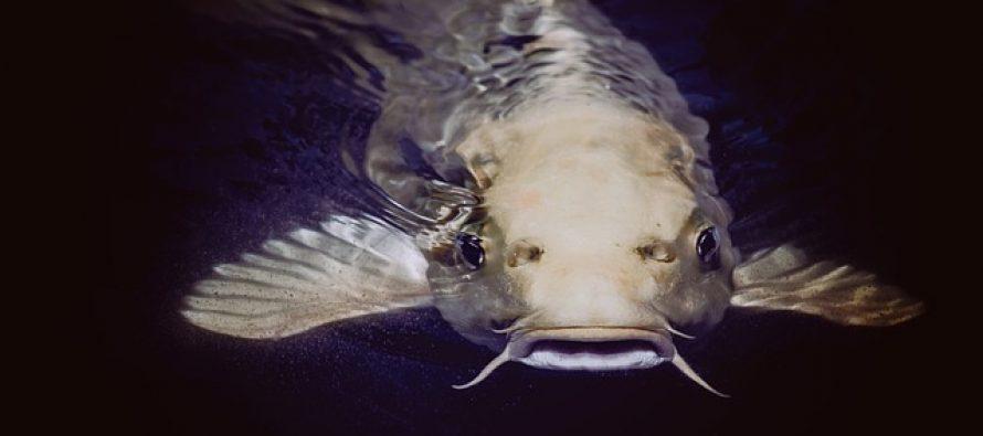 Koja vrsta ribe je sigurna za decu?